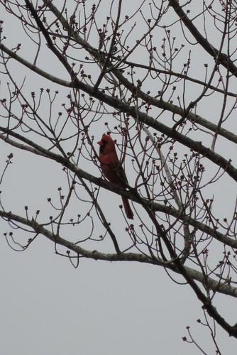 #37 Northern Cardinal (Cardinalis cardinalis )