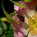 kétszínű virágcincér - Anastrangalia sanguinolenta
