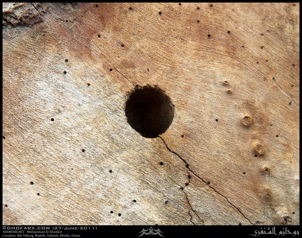 Carpenter Bee, Xylocopa sp , Nest at Ain Tabraq, Salalah, … | Flickr