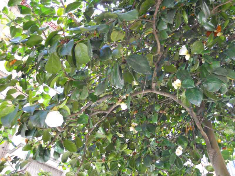 Camellia japonica 'K. Sawada' 2