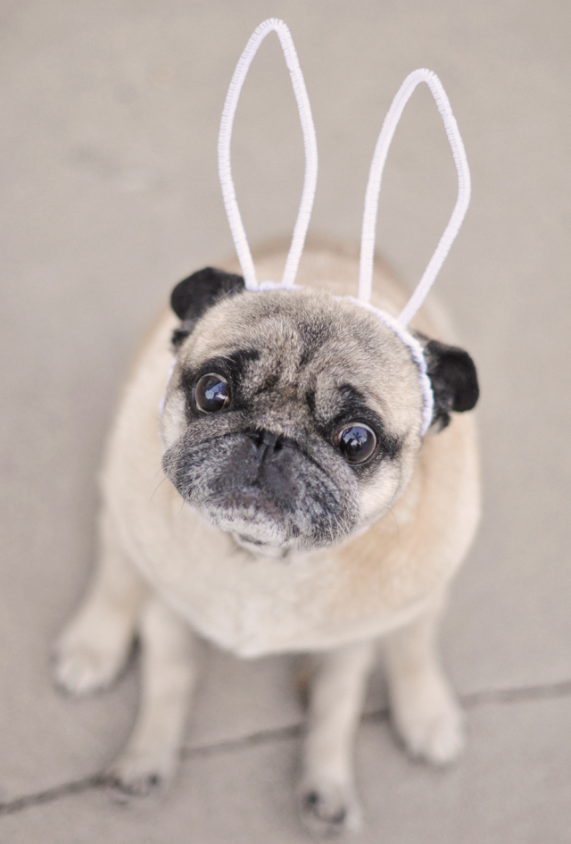 easter pug-pug dog with bunny ears