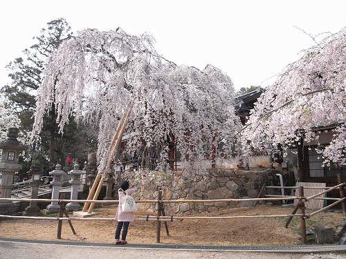 しだれ桜2012@氷室神社-05