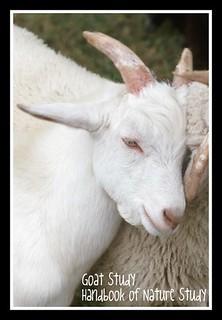 Goat Study Button