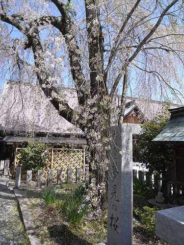 吉野の桜2011@吉野山-24