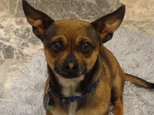 ARMANDO | Chihuahua/Dachshund/Miniature Pinscher Mix (Male) | Flickr ...