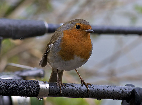 Rain Robin on my 105  <img src=/Images/Icons/Smileys/1.gif border=0 align=absmiddle>