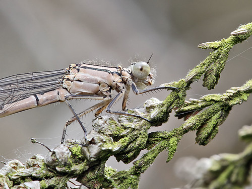 Teneral Common Blue Damselfly - Enallagma cyathigerum