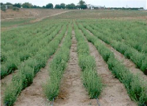 paraguay-stevia-farm tags: