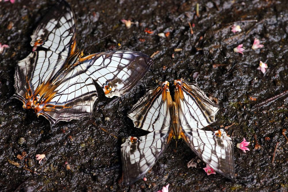 石牆蝶 (2)