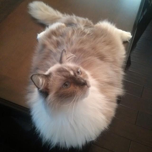 TYCO UPDATE. #ragdoll #ragdolls #ragdollcats #cat #cats #cute #catstagram #catsofinstagram #petsofinstagram #pets #love #ilovemycat