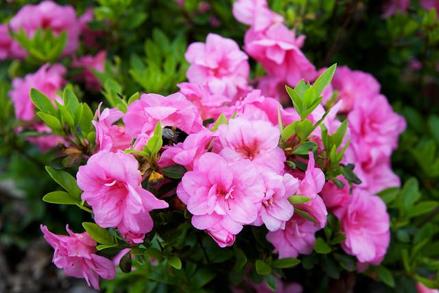 pink rhododendron. Botanic garden. Lviv, Ukraine