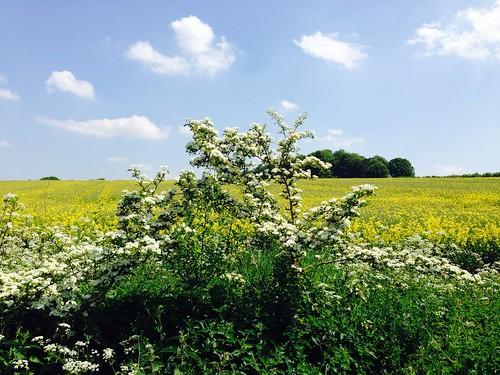 White hedgerow