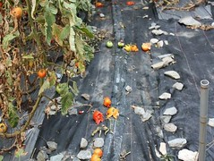 獼猴丟棄的番茄。(圖片來源:慈心有機農業發展基金會)