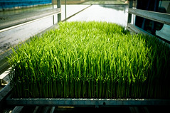 agriculture(0.0), shrub(0.0), flower(0.0), crop(0.0), lawn(0.0), leaf(1.0), grass(1.0), wheatgrass(1.0), artificial turf(1.0), green(1.0),