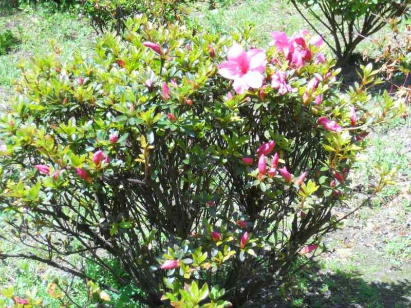 Rhododendron japonicum 'Favorite' 4