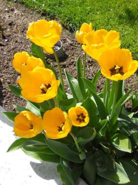 Tulipa darwin v 1