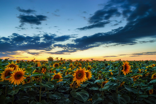 blue sunset field canon soleil tripod sigma pole hour sunflower slovensko slovakia 1020mm hdr tournesol photomatix slnecnica 450d theodevil hdrshooter