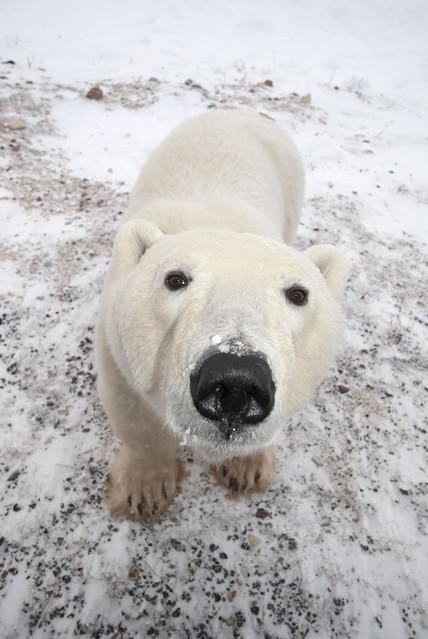 Orso polare in un Incontro ravvicinato