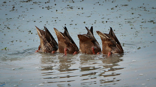 Nature's Finest Elite Pond Diving Team -- Explored