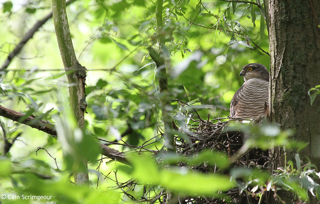 Sparrowhawk at its nest