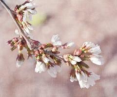 [フリー画像素材] 花・植物, 桜・サクラ ID:201204112000