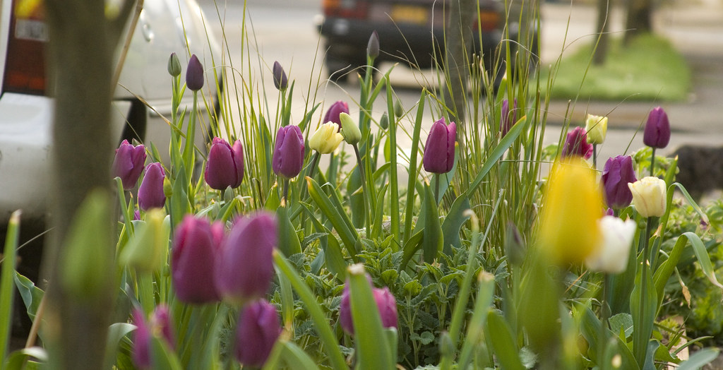 parking strip tulips