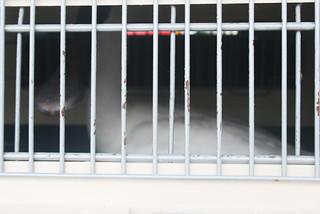繫放標記為E21的黑面琵鷺從集集一路來到台南七股。
