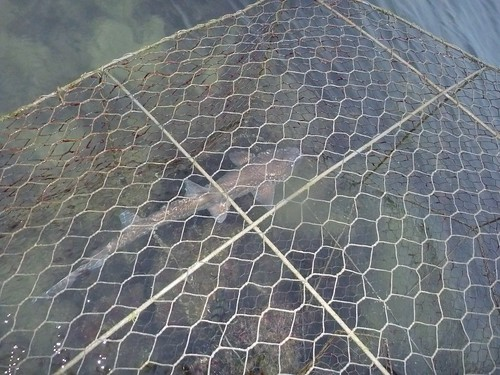 Bamboo shark