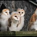 Barn Owl Chicks by norfolk jem..