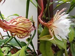 La Fleur Qui Ne S Ouvre Que La Nuit Epiphyllum Oxypetalum Flickr