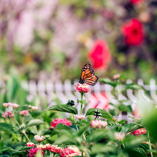 Butterfly & Fence