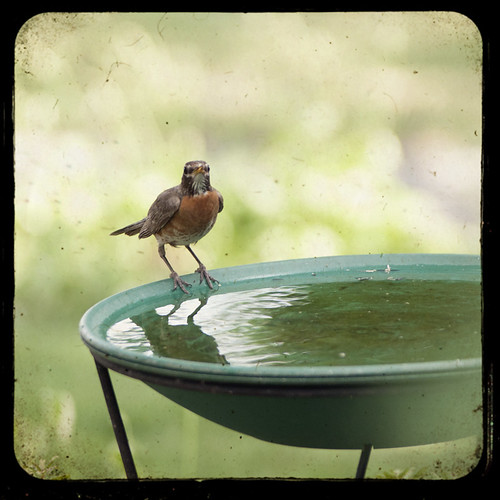 Robin on Birdbath by The Shutterbug Eye™