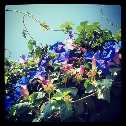 Morning Glories by Jodi K.