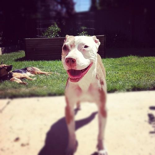 Smiling Mina #pitbull