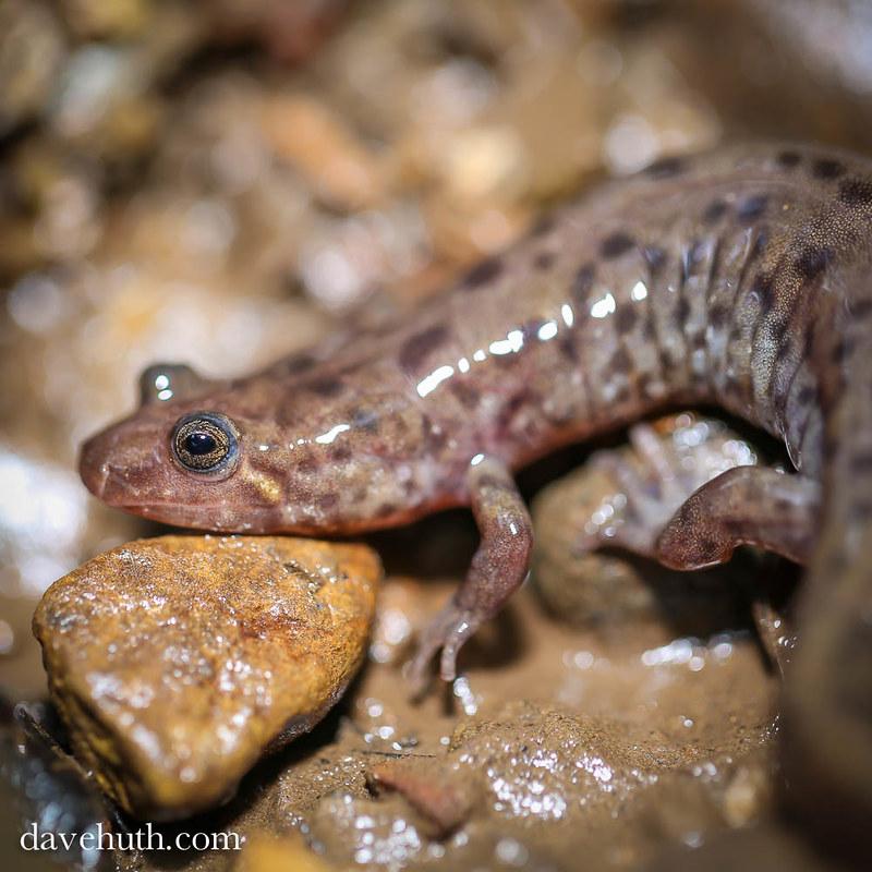Seal Salamander (Desmognathus monticola) - profile