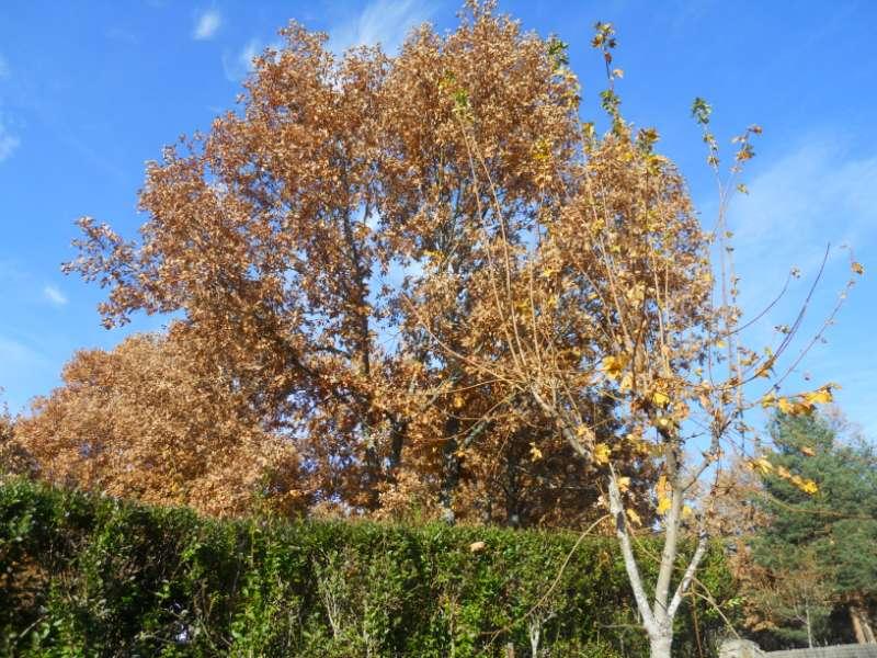 Quercus pyrenaica 5