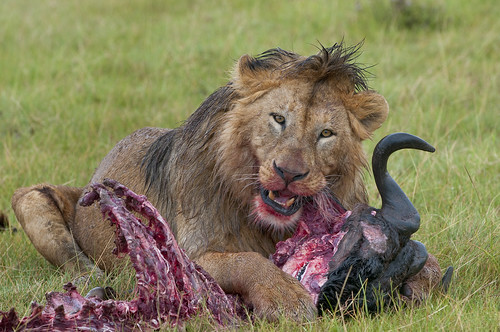 A male Lion devours a Gnu