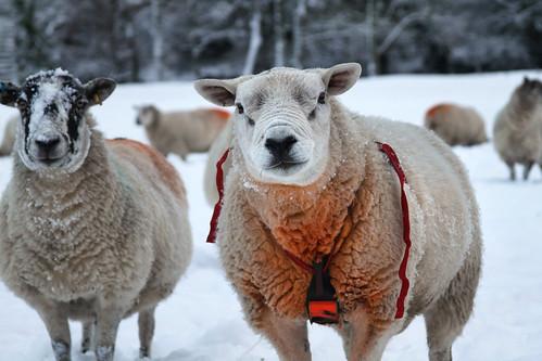 Sheep Crayon