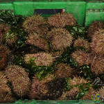 Crate of Sea Urchins - Castro, Chiloe Island (Chile)