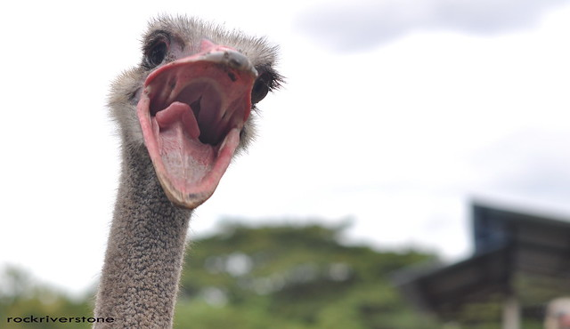 angry ostrich | Flickr - Photo Sharing!