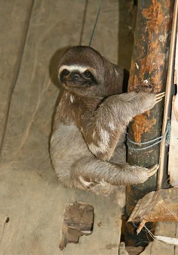 Pet sloth