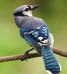 chickadee(0.0), animal(1.0), branch(1.0), wing(1.0), fauna(1.0), close-up(1.0), bluebird(1.0), blue jay(1.0), coraciiformes(1.0), beak(1.0), bird(1.0), wildlife(1.0),