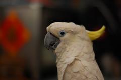 macaw(0.0), wing(0.0), cockatoo(1.0), animal(1.0), parrot(1.0), pet(1.0), sulphur crested cockatoo(1.0), fauna(1.0), close-up(1.0), common pet parakeet(1.0), beak(1.0), bird(1.0),