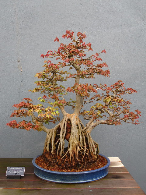 Trident Maple (Acer buergerianum), clump over rock style. 93 years old. Photo by Rebecca Bullene.