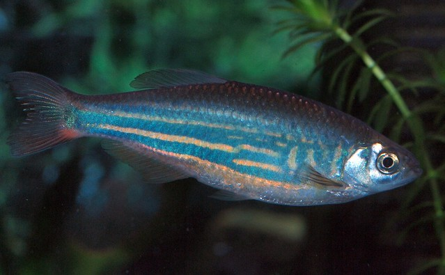 giant danio Flickr - Photo Sharing!