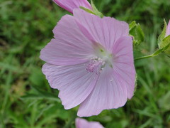 geranium cinereum(0.0), large-flowered evening primrose (0.0), garden cosmos(0.0), pink evening primrose(0.0), annual plant(1.0), flower(1.0), pinkladies(1.0), plant(1.0), malva(1.0), macro photography(1.0), wildflower(1.0), flora(1.0), plant stem(1.0), pink(1.0), petal(1.0),