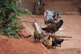 Turkey and Chickens