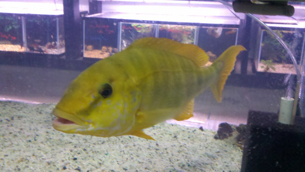 Cichlid forum fish your lfs post yours for Keller fish farms