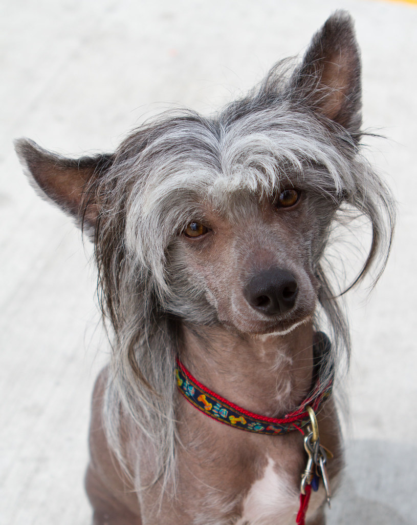 Chinese Crested Dog - 01