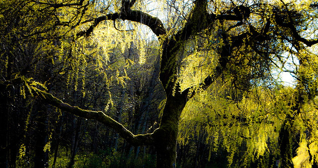 the texture of spring: willow tree in the light